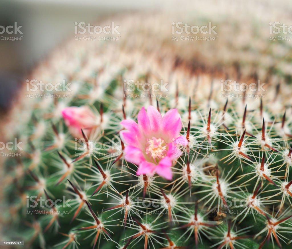 Decoration Petit Pot De Fleur photo libre de droit de belle rose fleur de cactus dans le