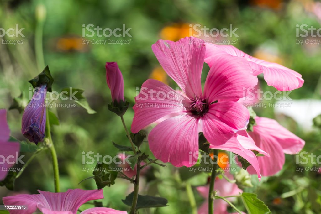 Beautiful Pink Flower Of Royal Mallow Stock Photo Download