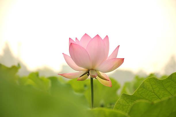 beleza natural-natureza - lotus - fotografias e filmes do acervo