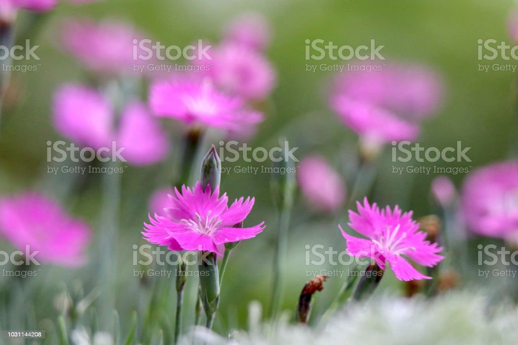 Beautiful pink flowers in blurred background stock photo