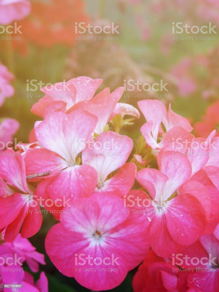 Beautiful pink flowers in garden stock photo 692731682 istock beautiful pink flowers in garden royalty free stock photo izmirmasajfo