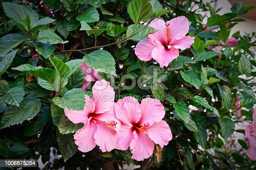 Three pink hibiscus flowers on green bush close up