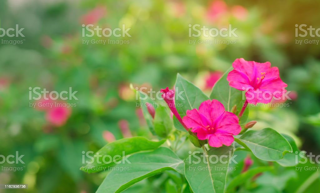 Beautiful Pink Flowers Mirabilis Jalapa Grow In The Garden On A Sunny Day Natural Wallpaper Beautiful Background For Design Soft Selective Focus Stock Photo Download Image Now Istock