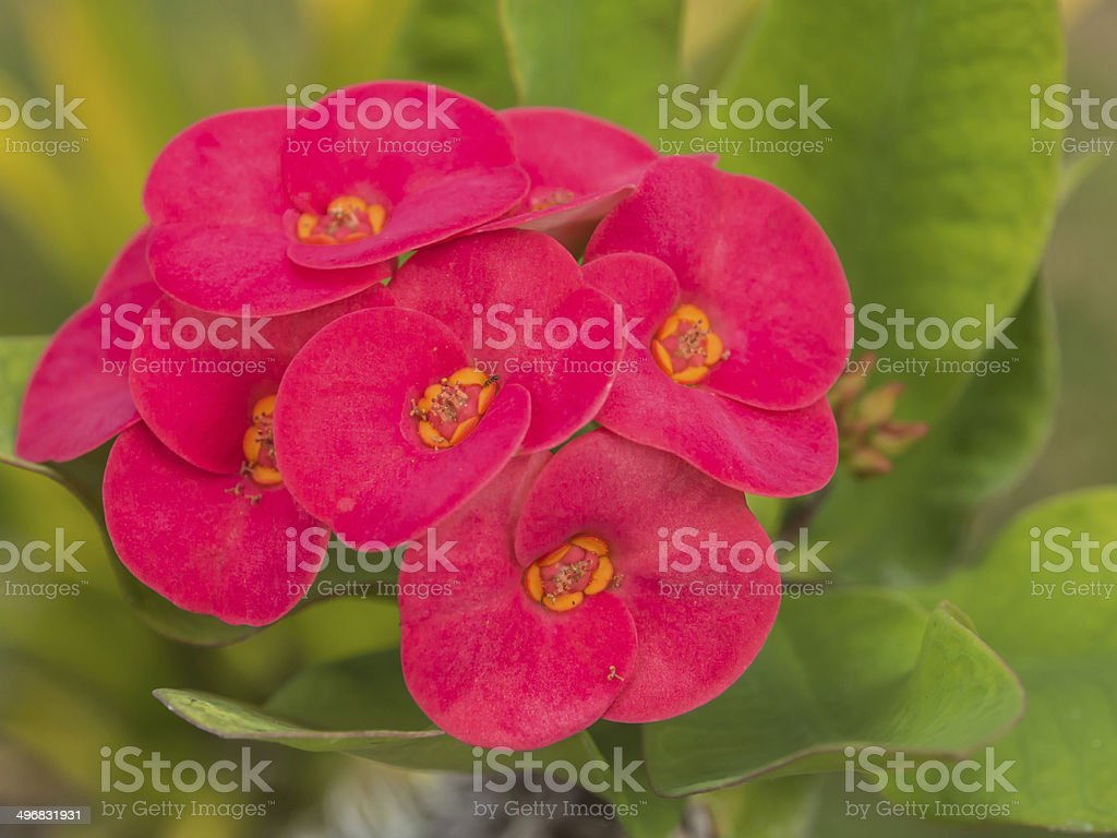 Beautiful pink flowers of crown of thorns or christ thorn stock beautiful pink flowers of crown of thorns or christ thorn royalty free stock photo mightylinksfo