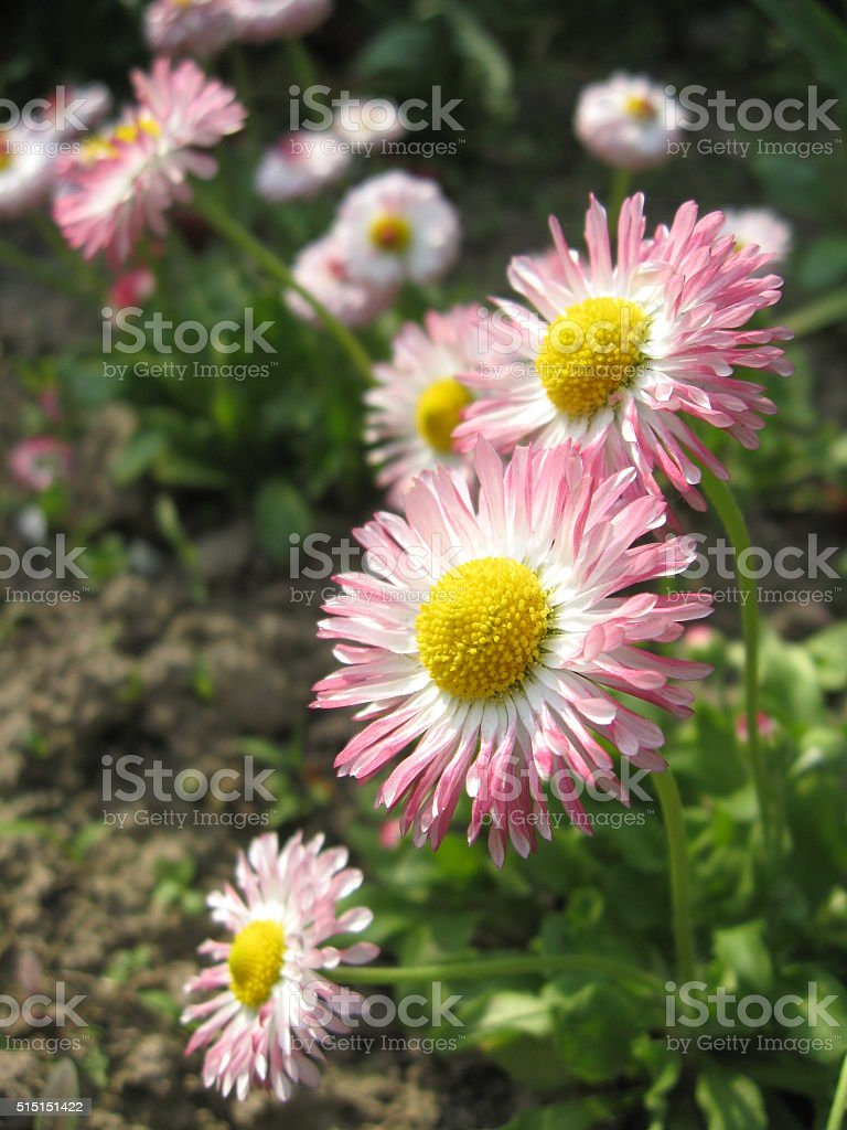 Beautiful pink flowers of the daisy stock photo