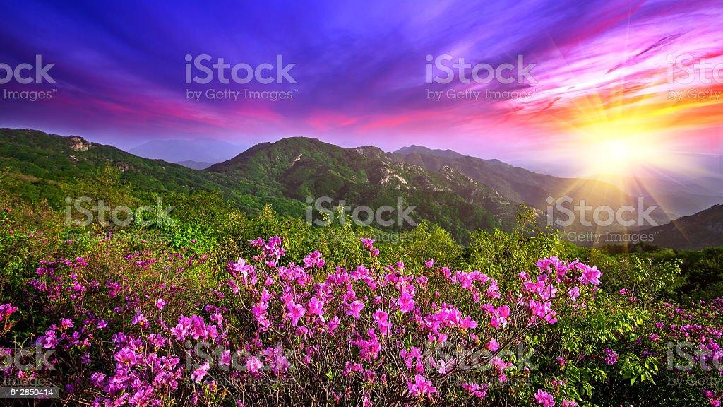 Foto De Beautiful Pink Flowers On Mountains At Sunset Hwangmaesan E Mais Fotos De Stock De Beleza Natural Natureza Istock