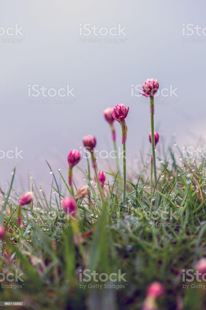 beautiful  pink flowers zbiór zdjęć royalty-free