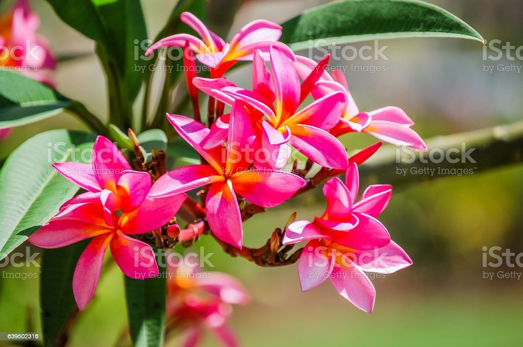 Beautiful pink frangipani (plumeria) flowers with green leaves tropical background stock photo