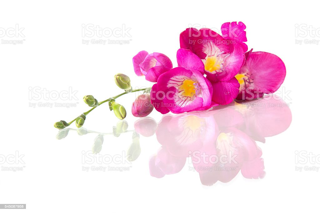 Beautiful pink freesia, isolated on white stock photo