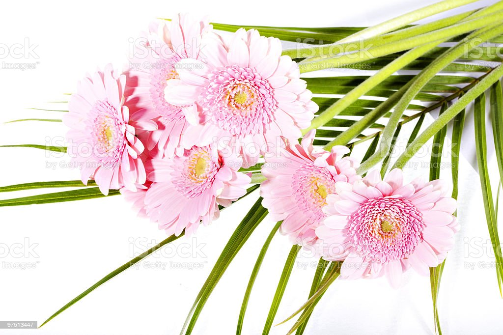 Beautiful pink gerber isolated royalty-free stock photo