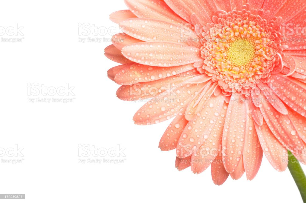 Beautiful pink gerber with water drops - Royalty-free Beauty Stock Photo