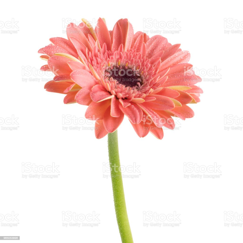 Beautiful pink Gerbera (Daisy) with drops of water royalty-free stock photo