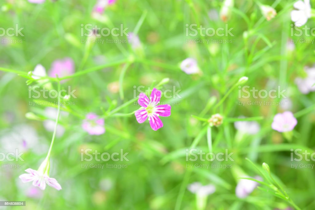 Beautiful Pink gypsophila flower. Closeup stock photo