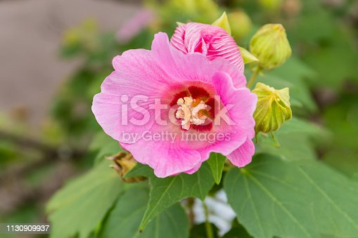 Pink hollyhock flowers . Beautiful flower in the garden.Floriculture.