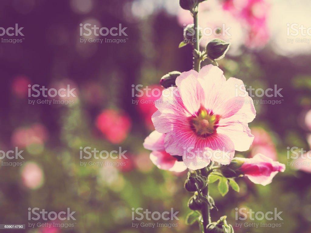 beautiful pink hollyhock flowers at sunset stock photo