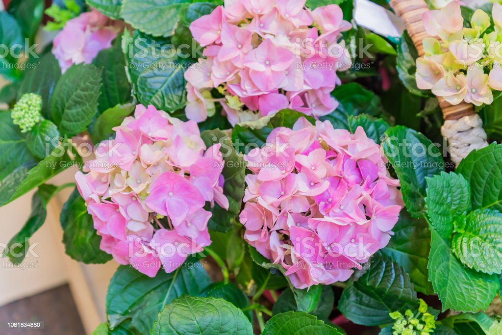 Beautiful pink hydrangea flower in basket. boouquet for present....