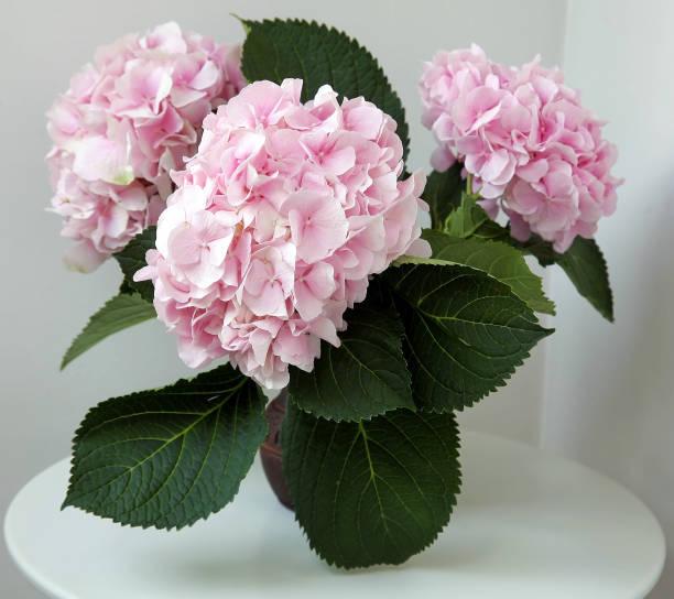 Schöne rosa Hortensie in einer Tonvase auf einem weißen Tisch – Foto