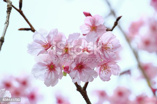 Close Up Beautiful Pink Japanese Sakura Blossom