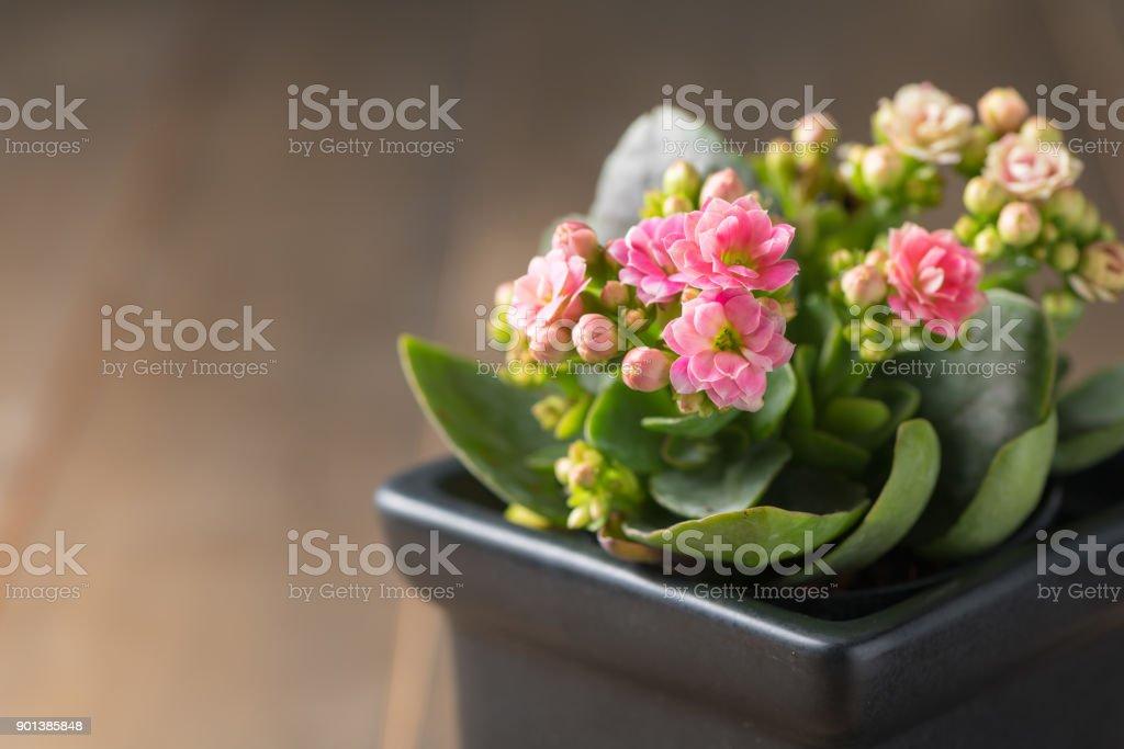 Belle Rose Fleur Kalanchoe En Petit Pot Photos Et Plus D Images De