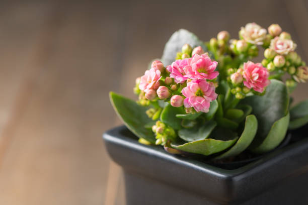 beautiful pink Kalanchoe flower in small pot beautiful pink Kalanchoe or Flaming Katy flower in small pot and old wood background crassulaceae stock pictures, royalty-free photos & images