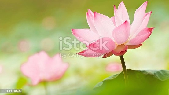 istock beautiful pink lotus and green leaves in river,freshness in the morning 1214416800