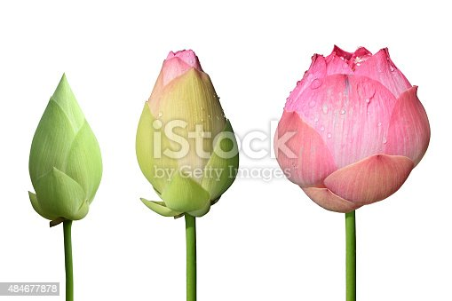Beautiful pink lotus flower 3 style isolate on white background