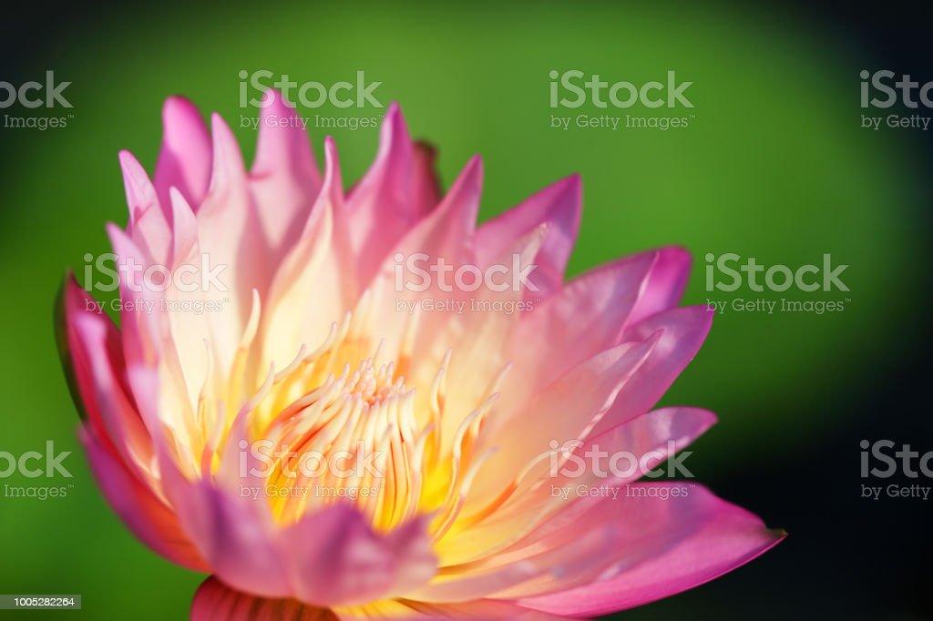 Beautiful Pink Lotus Flower Blooming In Pond Stock Photo More