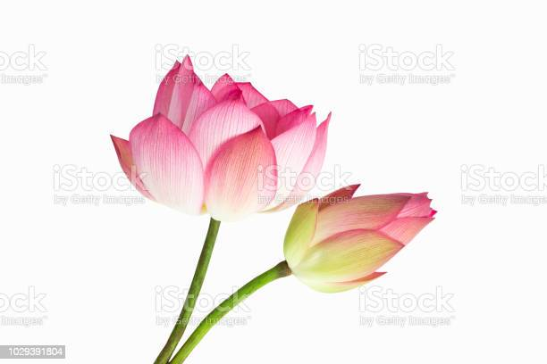 Beautiful pink lotus flower bouquet isolated on white background picture id1029391804?b=1&k=6&m=1029391804&s=612x612&h=asluggr2a4lof2xsje8bkrj he9zd64f6dnayeebz4i=