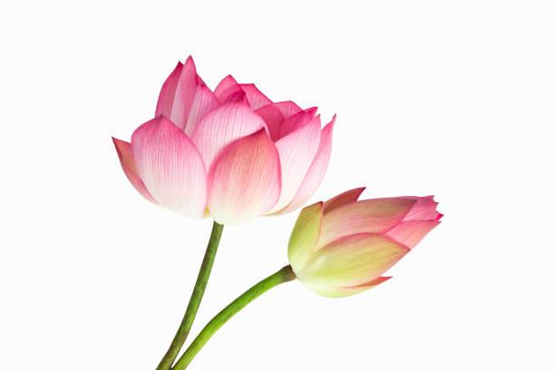 buquê de flores de lótus rosa linda isolado no fundo branco. - lotus - fotografias e filmes do acervo