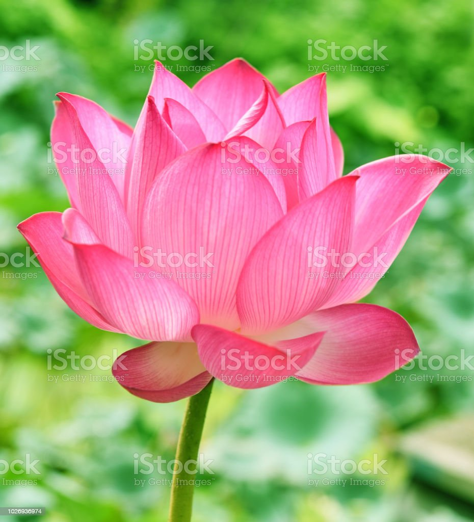 Beautiful Pink Lotus Flower In Blooning Stock Photo More Pictures