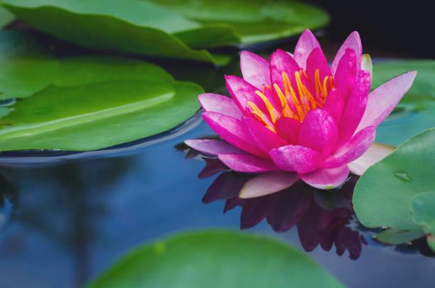 schöne rosa lotusblüte im teich. - wasserlilien stock-fotos und bilder