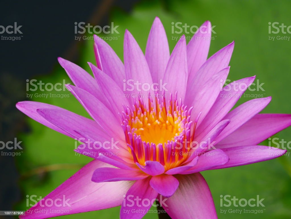 Beautiful Pink Lotus Flower Stock Photo More Pictures Of Aquatic