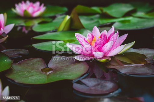 istock beautiful pink lotus flower. 875342762