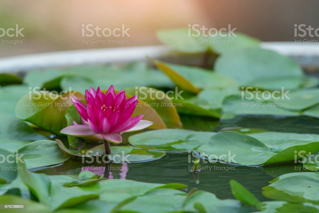 A Beautiful Pink Lotus Flower Stock Photo More Pictures Of
