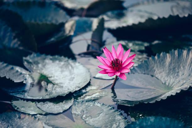 Schöne rosa Lotusblume mit grünen Blättern im Teich – Foto