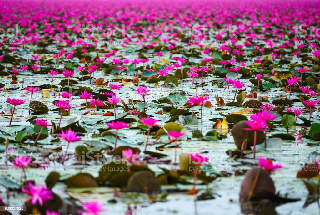 Beautiful pink lotus flowers stock photo