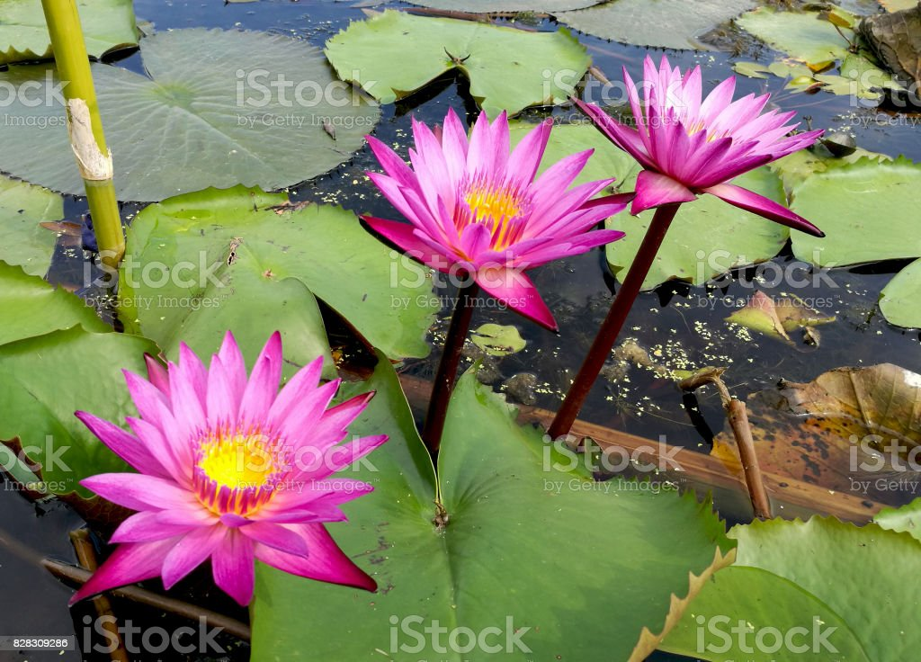 Beautiful pink lotus in slow life day stock photo