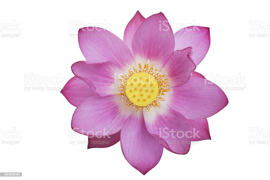 beautiful pink lotus isolated stock photo