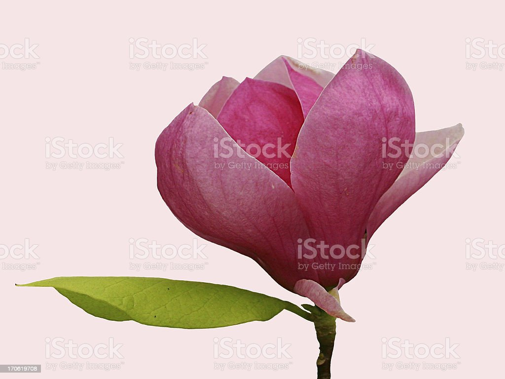 Beautiful pink magnolia bloom - isolated royalty-free stock photo