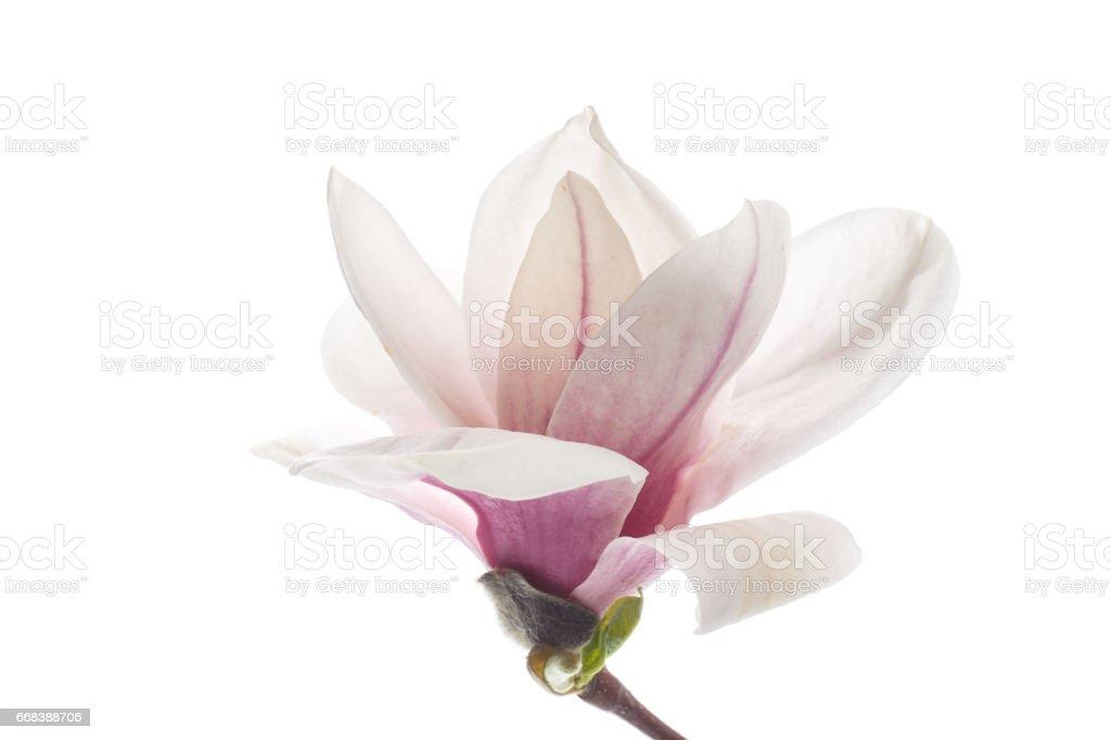 Beautiful pink magnolia flower stock photo