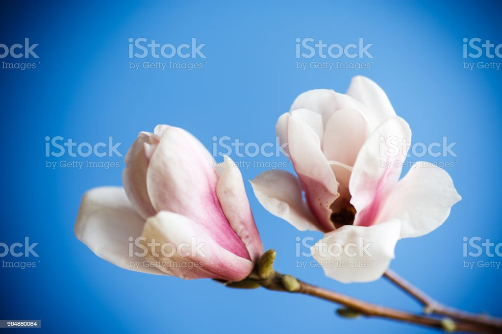 Beautiful pink magnolia flower royalty-free stock photo