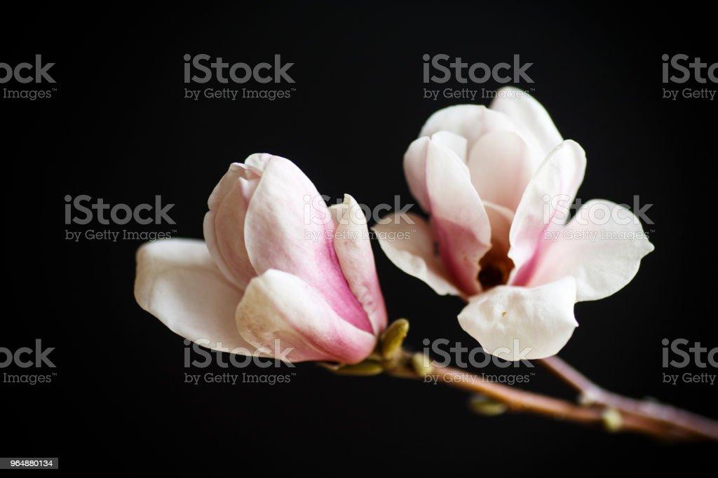 Beautiful pink magnolia flower royalty-free stock photo