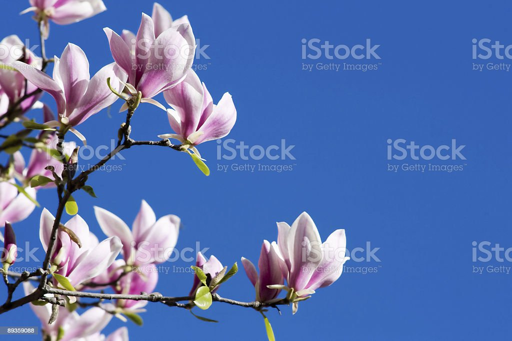 A beautiful pink magnolia flowers in full bloom royalty-free stock photo