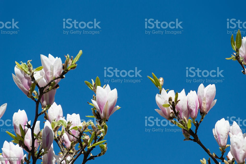 Beautiful Pink Magnolia Flowers royalty-free stock photo