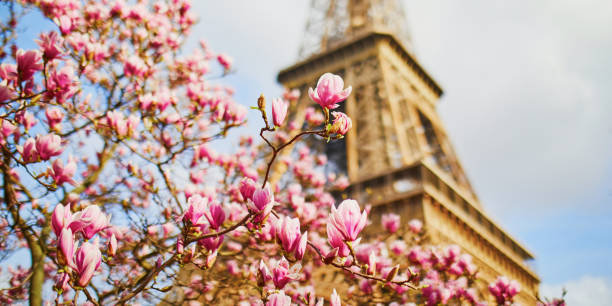 Beautiful pink magnolia in full bloom near the Eiffel tower in Paris stock photo