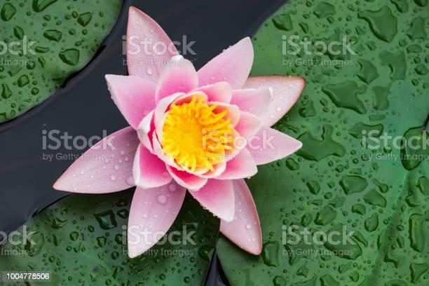 Beautiful pink nenuphar picture id1004778506?b=1&k=6&m=1004778506&s=612x612&h=dmqqzjvoqz45bxlahntxarrt7zi3yboaac4401zx4c4=