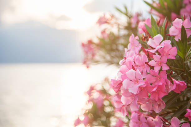 Beautiful pink oleander flowers are blooming on light background stock photo