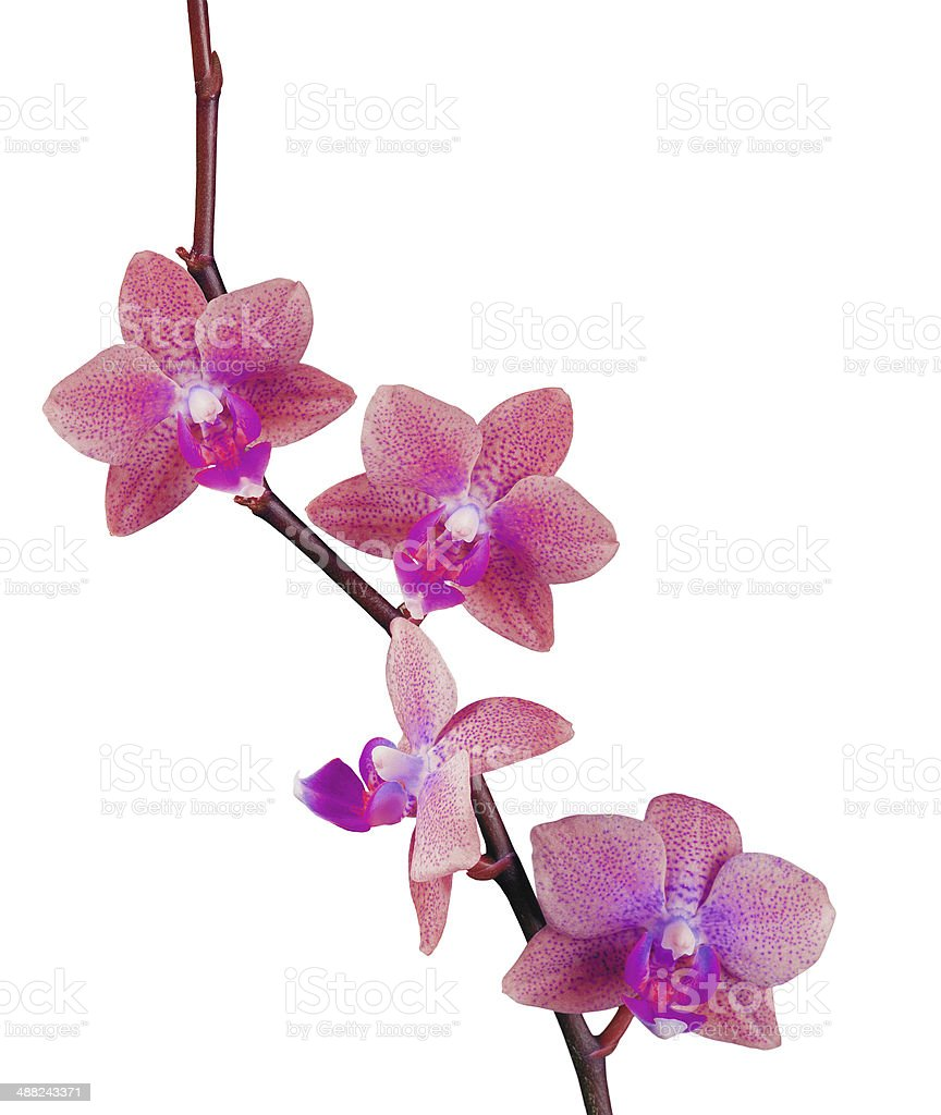 beautiful pink orchid isolated on white background royalty-free stock photo