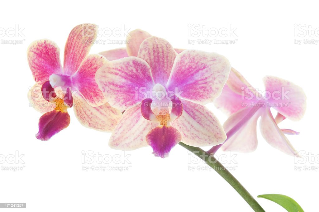 Beautiful pink orchids on white royalty-free stock photo
