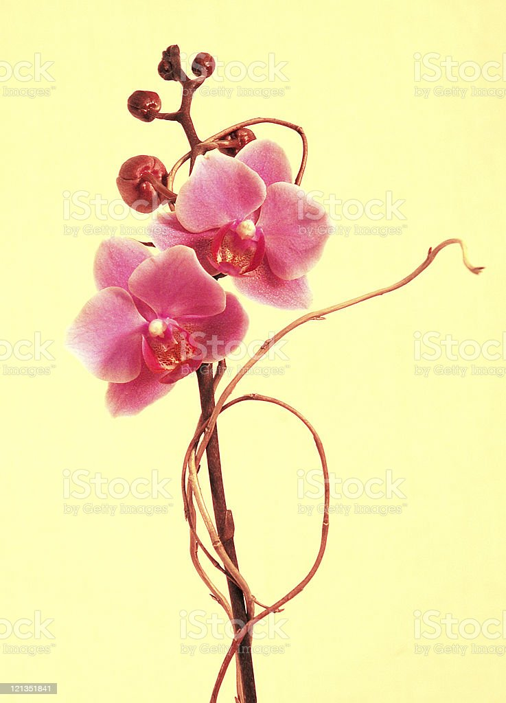 Beautiful Pink Orchids with Yellow Background royalty-free stock photo